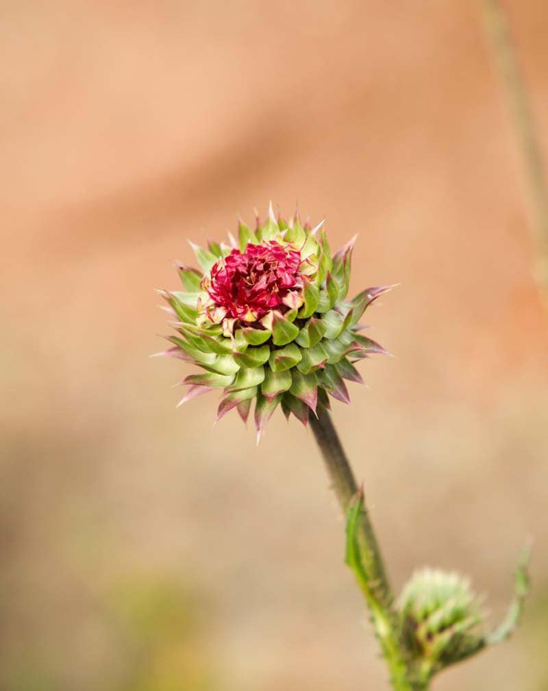 thistle photo from Vedauwoo Wyoming