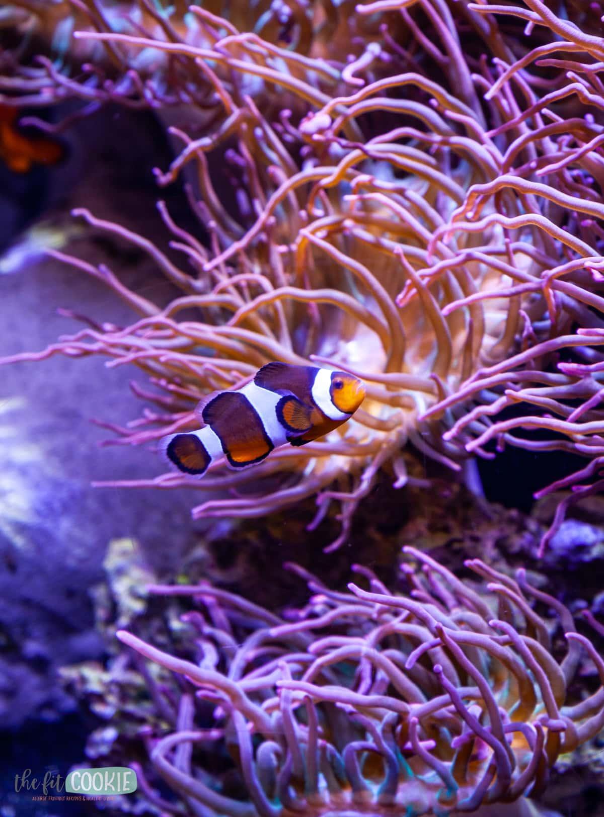 clown fish next to purple anemones