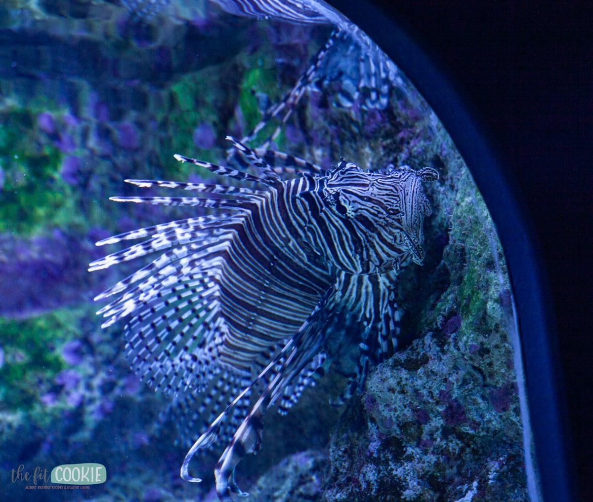 lionfish in aquarium tank