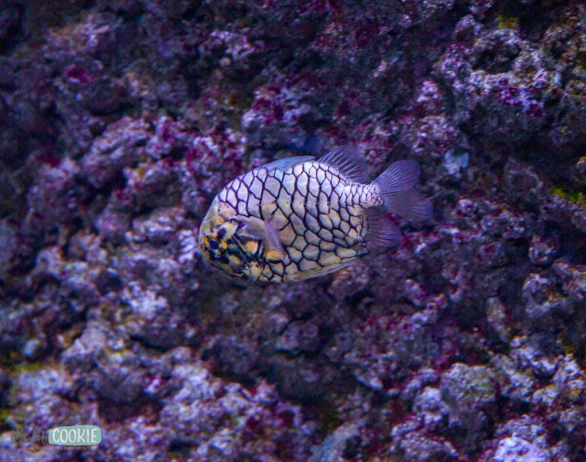 pinecone fish in tank from Asian Pacific ocean